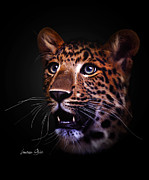 Black Leopard Posters - Awestruck Poster by Lauren Goia