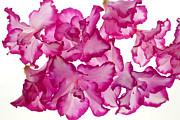Azalea Abstract Print by Brad Rickerby