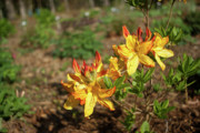 Morning Charm Prints - Azalea Greets the Morning Sun Print by Douglas Barnett