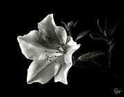 Flower Photos Posters - Azalea in Black and White Poster by Endre Balogh