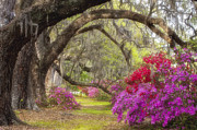 Live Oak Posters - Azalea Lane Poster by Joseph Rossbach