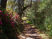 Palatka Prints - Azalea Path  Print by Bob Johnson