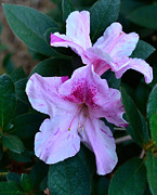 Azalea Bush Photo Prints - Azalea Twins Print by Larry Bishop