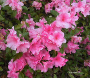 Azalea Watercolor  Print by Fred Jinkins