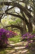 Live Oaks Photos - Azaleas and Live Oaks at Magnolia Plantation Gardens by Dustin K Ryan