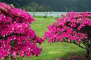 Gaspar Avila Framed Prints - Azaleas at the Azores Framed Print by Gaspar Avila