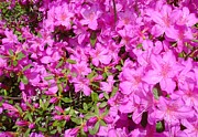 True Vine Gallery-- Donna E Dixon - Azaleas in Georgia