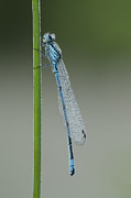 Roost Prints - Azure Damselfly Print by Andy Astbury