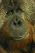 Orangutans Photos - Azy, An 18-year Old Male Orangutan by Michael Nichols