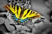 Swallowtail Framed Prints - B n W Swallowtail Framed Print by Emily Stauring