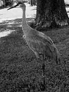 Gray And Black Beak Framed Prints - B W Sand-hill Crane in front yard Framed Print by Christopher  Mercer