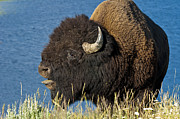 American Bison Prints - Baaa You Come Here Print by Paul Cannon