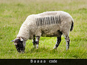 Ovine Framed Prints - Baaaa code Framed Print by Steev Stamford