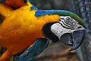 Blue And Gold Macaw Posters - Babaloo Blue Poster by Wendy Mogul