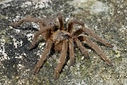 Sensitive Prints - Baboon Spider Print by Peter Chadwick