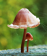 Simon Bratt Photography Prints - Baby and Parent mushroom Print by Simon Bratt Photography