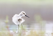 The Bird Photo Prints - Baby Avocet Print by Bmse