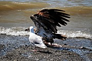 Eagle Picture Prints - Baby Bald Eagle Movement Print by Debra  Miller