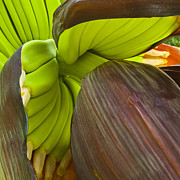 Banana Flower Framed Prints - Baby Bananas Framed Print by Heiko Koehrer-Wagner