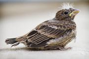 Baby Bird 1 Print by Jessica Velasco