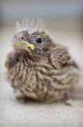 Baby Bird Metal Prints - Baby Bird 2 Metal Print by Jessica Velasco