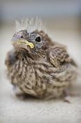 Baby Bird 2 Print by Jessica Velasco