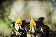 Feeding Photos - Baby Birds by Darren Fisher