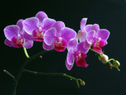 Orchid Photo Prints - Baby Bloomers Print by Juergen Roth