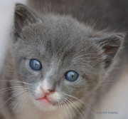 Kitten Digital Art - Baby Blue Eyes by DigiArt Diaries by Vicky Browning