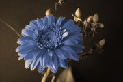 Gerbera Art - Baby Blue Gerbera by Nancy TeWinkel Lauren