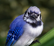 Bluejay Metal Prints - Baby Blue Metal Print by Kristin Smith