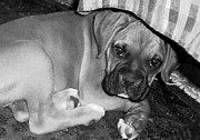 Baby Boxer Puppy Print by Tisha McGee