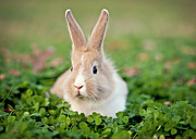 Young Animal Posters - Baby Bunny In Clover Field Poster by Beth Simmons Photography