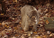 Kitten Prints Prints - Baby Canada Lynx Stalking a Squirrel Print by Inspired Nature Photography By Shelley Myke