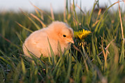 Farm Yard Posters - Baby Chick in Green Grass Poster by Cindy Singleton