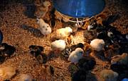 LeeAnn McLaneGoetz McLaneGoetzStudioLLCcom - Baby Chicks