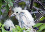 Baby Bird Posters - Baby Egret Poster by Kenneth Albin