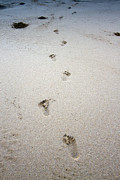 Foot Prints Posters - Baby Footprints In The Sand Poster by Dustin K Ryan