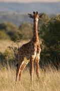 Africa Framed Prints - Baby Giraffe Framed Print by Andy Smy
