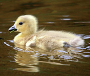 Baby Bird Photos - Baby goose by Pierre Leclerc