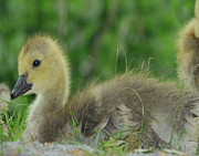 Baby Bird Photos - Baby Goose takes a break by Paul Ward