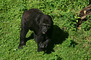 Carol Wright - Baby gorilla find own...