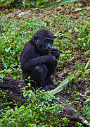 Gorilla Originals - Baby Gorilla by Jason Blalock