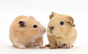 Syrian Hamster Photos - Baby Guinea Pig And Golden Hamster by Mark Taylor