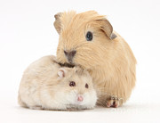 Hamster Prints - Baby Guinea Pig And Russian Hamster Print by Mark Taylor