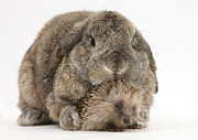 Animal Portraits Photo Posters - Baby Hedgehog And Agouti Lop Rabbit Poster by Mark Taylor