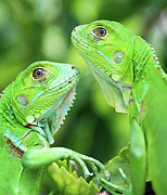 Color Green Photo Framed Prints - Baby Iguanas Framed Print by Patti Sullivan Schmidt