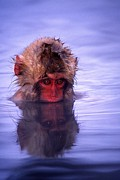 Macaques Prints - Baby Japanese macaque Print by Roy Toft