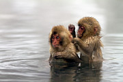 "Water Color Acrylic Prints - Baby Japanese Macaques ""snow Monkeys"" Acrylic Print by Oscar Tarneberg"