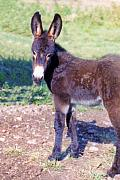 Donkeys Art - Baby Jenny by Jan Amiss Photography